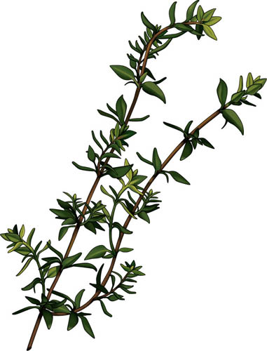 Thyme Essential Oil for Snoring