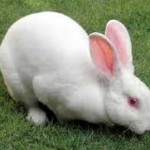 Snoring And Nasal Obstruction In Rabbits